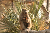 English: A Female Baboon and baby, Okavango Delta, Botswana.