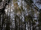An evergreen forest: composed of Pine trees.