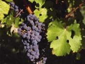 Cabernet Sauvignon grape cluster, shown by DNA studies to be a cross of Cabernet Franc and Sauvignon blanc.