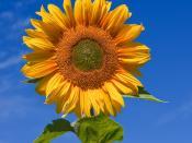 English: Sunflower (Sunfola variety) against a blue sky. Taken in Victoria, Australia. Français : Un tournesol sur fond de ciel bleu. Cliché pris dans le Victoria, en Australie. Italiano: Un fiore di girasole (Helianthus annuus cv. Sunfola) contro lo sfon