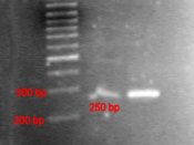 PCR product compared with DNA ladder in agarose gel. DNA ladder (lane 1), the PCR product in low concentration (lane 2), and high concentration (lane 3). Image published with permission of Helmut W. Klein, Institute of Biochemistry, University of Cologne,