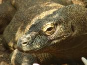 Images from London Zoo. Komodo Dragon Location: NW1 4RY