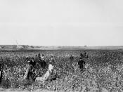 English: Oklahoma Cotton Field.