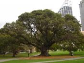 filedesc A Moreton Bay Fig, planted in 1850, near the Art Gallery of New South Wales, photographed by DO'Neil. Category:Images of New South Wales