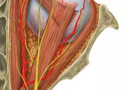Human eye and orbital anatomy, superior view