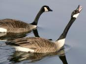 Branta canadensis Canada Goose aggressive behavior during mating season.