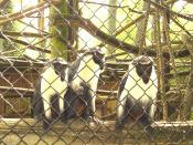 Captive diana monkeys