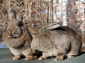 Rabbits / Kaninchen