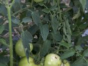 Hail Damage on Tomatoes