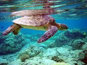 Green turtle, Chelonia mydas and his Total internal reflection. Français : Une Tortue verte (Chelonia mydas) et sa Réflexion interne totale sous la surface de l'eau.