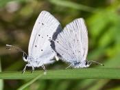 Cupido amyntula 'Western Tailed Blue'