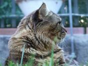 Maine Coon - Chimsky - Creative Commons by gnuckx