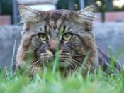 Maine Coon - Creative Commons by gnuckx