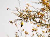 Purple Rumped Sunbird Swinging down (ICRISAT)