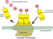 English: Illustration of tRNA building peptide chain