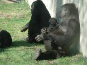 Mother and child gorilla sitting in the sun