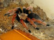 Mexican fireleg tarantula - Brachypelma boehmei at the Louisville Zoo