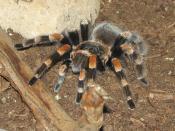 Tarantula - (Brachypelma smithi)