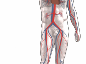 Blood circulation: Red = oxygenated Blue = deoxygenated