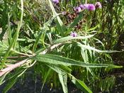 Vernomia altissima (Compositae) leaf
