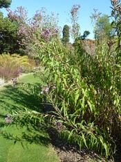 Vernomia altissima (Compositae) plant