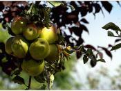 Un racimo de manzanas