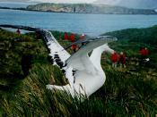 Wandering Albatross at South Georgia Island