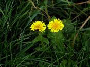 English: Two dandelions side-by-side in some grass.