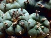 The Peyote cactus, the source of the peyote used by Native Americans in religious ceremonies.