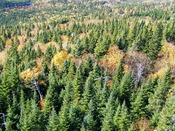 Taiga forest dominated by Picea glauca. Gaspé, Québec, canada.