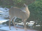 Deer in Tenafly, NJ
