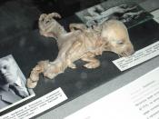 English: Dog with dipygus - Kiev - Ukrainian National Chernobyl Museum