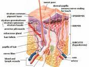 Anatomy of the human skin with English language labels. Arabic language description translated by: Tarawneh