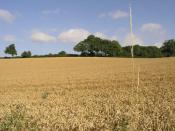 English: Tall Grass. This grass at the side of this field of ripe wheat towers above the trees in the distance.