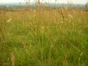 English: Tall grass growing wild at Lyme Park. Category:Plant images