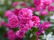 Rose, King Rose, バラ, キングローズ,