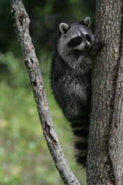 English: Racoon clinging to a tree in Hugh Taylor Birch park in Fort lauderdale, Florida.