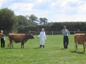 Jersey cattle being judged at the West Show, St. Peter, Jersey Image created by User:Man vyi on 1st May 2005 Category:Images of Jersey