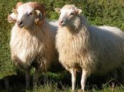 English: Sheep Skudde - Here a Bock / Wider and a Zibbe/Aue with those one very well the gender differences sees Deutsch: Schafrasse Skudde - Hier ein Bock/Wider und eine Zibbe/Aue bei denen man sehr gut die Geschlechtsunterschiede sieht