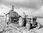 Members of the British Women's Land Army harvesting beets. A woman is driving the Fordson tractor in the foreground, while three others with pitchforks are loading the beets on the truck behind the tractor.