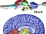 English: Main regions of the vertebrate brain, shown for a shark and a human brain (the human brain is sliced along the midline). The two brains are not on the same scale.