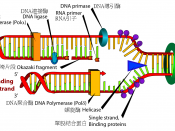 Chinese version of Image:DNA replication.svg.