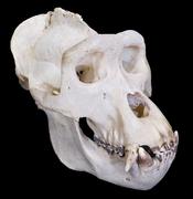 English: Western Gorilla Gorilla gorilla (Savage, 1847) - Male - (View 3/4) :: Locality : Gabon, Haut-Ogooué Province, Chakès ::Size : 26 × 23 × 18cm Français : Gorille de l'ouest Gorilla gorilla (Savage, 1847) - Mâle - (Vue de 3/4) ::Localité : Gabon, Ha