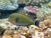 English: Striped Surgeon (Acanthurus lineatus) on Flynn reef (near Cairns), Great Barrier Reef, Queensland, Australia. Français : Un chirurgien zèbre (Acanthurus lineatus ). Photo prise dans le récif de Flynn, sur la Grande Barrière de Corail, dans le Que