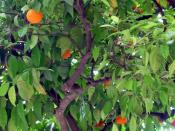 Sevilla has orange trees everywhere.