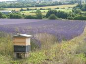 English: Beehive, Alton, Hampshire The famous win-win situation. By having bees on site, the lavender has an increased oil yield, plus there is honey production. http://www.blossomtoharvest.com/index.html?crop.html?Apple