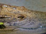 Crocodylus porosus - Saltwater Crocodile at Dundee Wildlife Park, Murray Bridge, South Australia