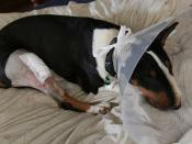nettie in collar after operation