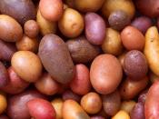 English: Different potato varieties. – The potato is the vegetable of choice in the United States. On average, Americans devour about 65 kg of them per year. New potato releases by ARS scientists give us even more choices of potatoes to eat. Deutsch: Vers