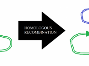 English: Diagram showing homologous recombination of a cointegrate plasmid containing the Tn3 transposon. This is an important part of the replication of this transposon, which itself has a role of the spread of antibiotic resistance genes.
